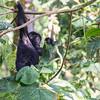 Juvenile Mountain Gorilla (Gorilla beringei beringei) eating