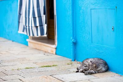 Burno island cat (Felis catus) resting