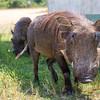 Two common warthog (Phacochoerus africanus)