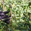 Young mountain gorilla (Gorilla beringei beringei) eating landscape.CR2