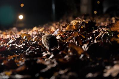 European hedgehog (Erinaceus europaeus) walking towards cars