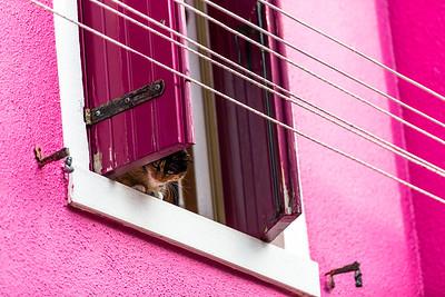 Burno island cat (Felis catus) watching landscape