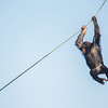 Juvenile chimpanzee on a rope (Our Closest Relative) backcover (Pan troglodytes)