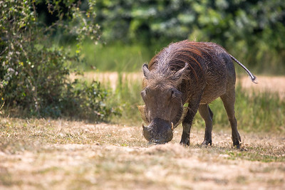 Common warthog eating (Phacochoerus africanus)