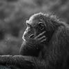Chimpanzee (Pan troglodytes) in the rain