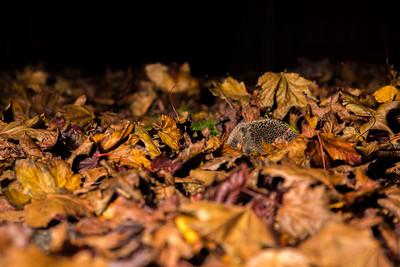 European hedgehog (Erinaceus europaeus) with tick parasite