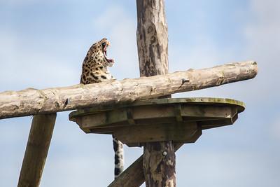 Amur leopard (Panthera pardus orientalis) yawning