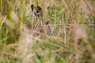 Adult hare (Lepus europaeus)
