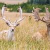 Fallow deer (Dama dama) resting in long grass
