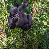 Young mountain gorilla (Gorilla beringei beringei) eating portrait