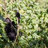 Young mountain gorilla (Gorilla beringei beringei) eating vines