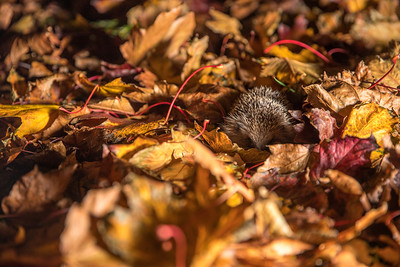 European hedgehog (Erinaceus europaeus) taking shelter