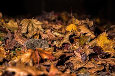 European hedgehog (Erinaceus europaeus) in garden