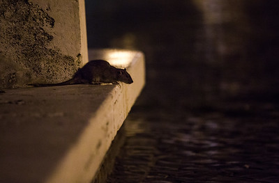 Common/brown rat (Rattus norvegicus) at night