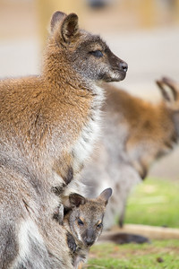 Bennet's Wallaby (Macropus rufogriseus) joey and mother