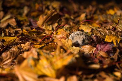 European hedgehog (Erinaceus europaeus) portrait