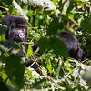 Young mountain gorilla (Gorilla beringei beringei) observing