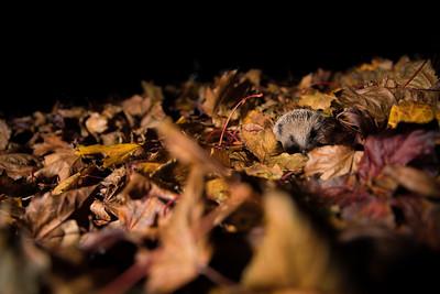 European hedgehog (Erinaceus europaeus)  hunting in leaves