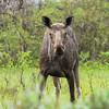 Moose (Eurasian Elk)
