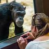 Chimpanzee (Pan troglodytes) and human interaction (Homo sapiens)