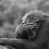 Chimpanzee (Pan troglodytes) sheltering from the rain