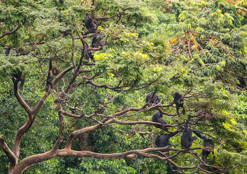 Chimpanzee group in a tree (Pan troglodytes)