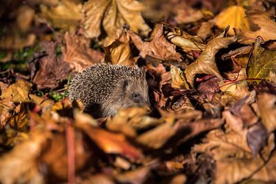 European hedgehog (Erinaceus europaeus) side profile