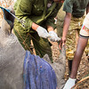 Wild White Rhinocerous (Ceratotherium simum) microchipping and breathing monitoring