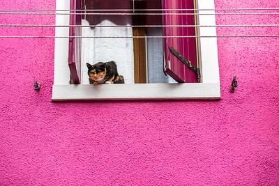 Burno island cat (Felis catus) starring