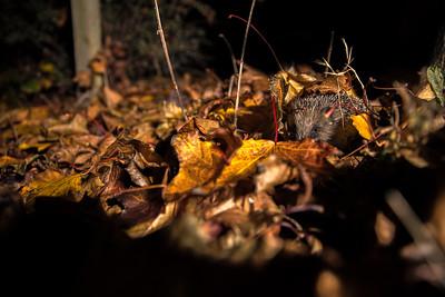 European hedgehog (Erinaceus europaeus)  in leaves