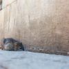 Brown / common rat (Rattus norvegicus)