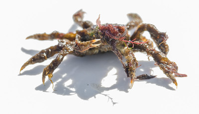 Common Spider Crab (Maja squinado)