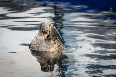 grey seal (Halichoerus grypus) 2