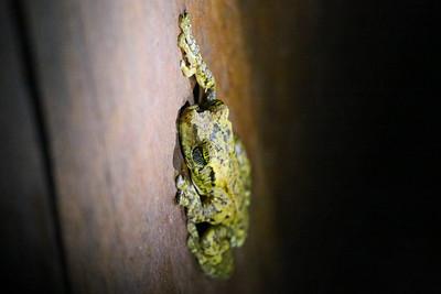 Giant Broad-headed Treefrog (Osteocephalus taurinus)