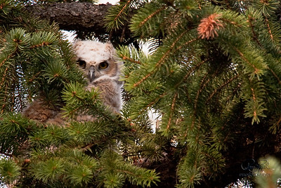 Great Horned Owl Family-100507-9691