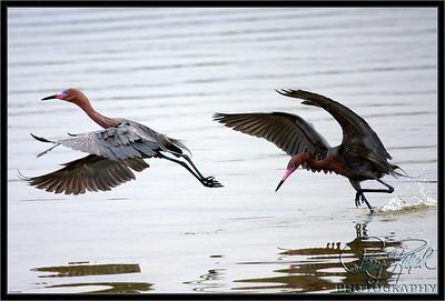 Keeping them  out -- Reddish Egrets