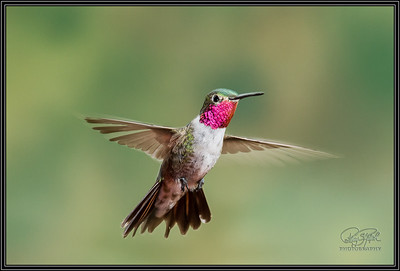 BroadTail Hummingbird Hovering