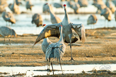 Sand Hill Cranes Rowe Sanctuary-100403-6255