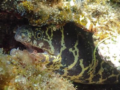 Chain Moray (Echidna catenata)