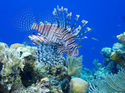 Red Lionfish (Pterios volitans)