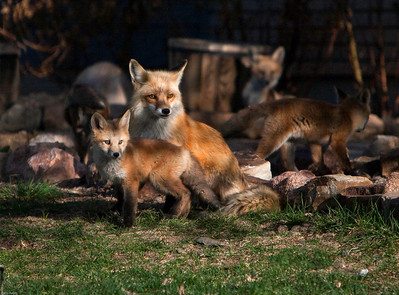 Mother Fox and her Kit