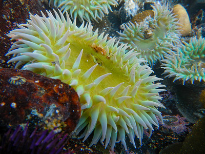 Giant Green Anemone (Anthopleura xanthogrammica)