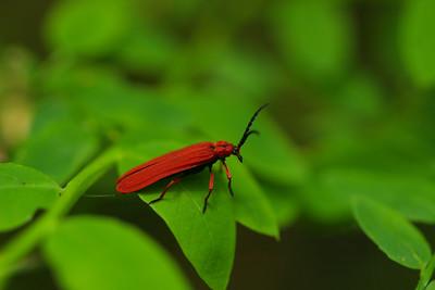 Golden Net-winged Beetle (Dictyoptera aurora)