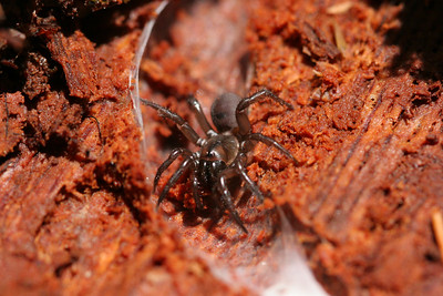 Folding Trapdoor Spider (Antrodiatetus pacificus)
