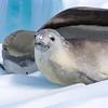 Crab-eater Seal (Lobodon carcinophagus)