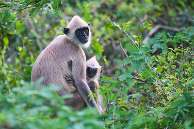 Tufted Grey langur (Semnopithecus priam)