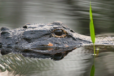 American Aligator (Alligator mississippiensis)