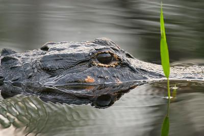 American Aligator (Alligator mississippiensis)