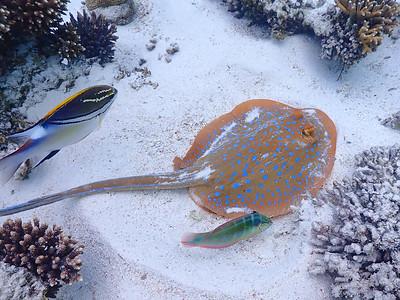 Bluespotted Fantail Ray (Taeniura lymma)