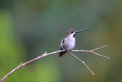 Long-billed Starthroat (Heliomaster longirostris)